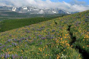 Big Horn Mountains wildflower bloom