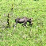 Youn bull moose in the Bighorn Mountains