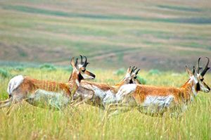 Pronghorn antelope in Washakie County, Wyoming